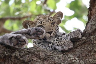 Leopard cub and 4 feet