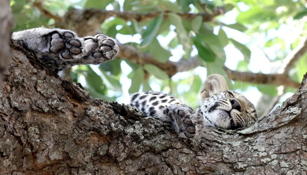 Leopard cub feet up time