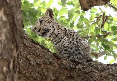 Leopard cub I'm off
