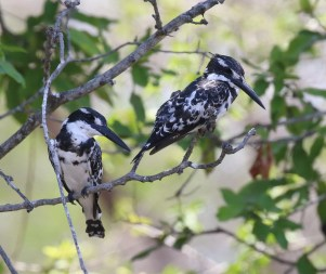 Pied Kingfishers 2 males