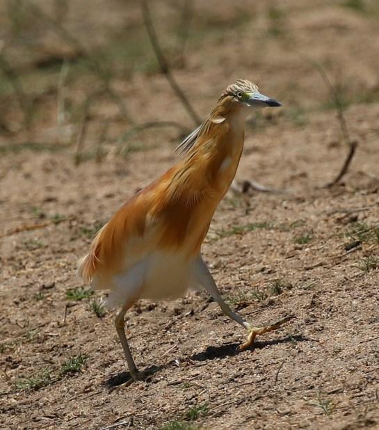 Squacco Heron well tanned