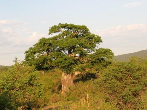 Tree round the Mahonie Loop