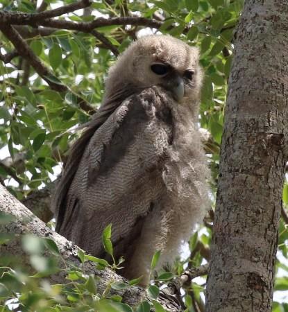 Vereaux's Eagle-Owl