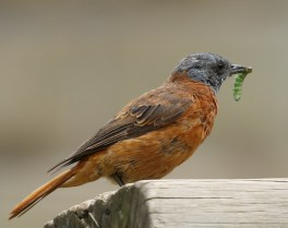 Cape Rock-Thrush - male