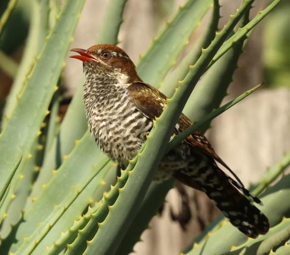 Diderick Cuckoo - juvenile