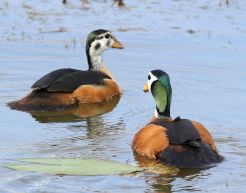 African Pygmy-Goose - male and female