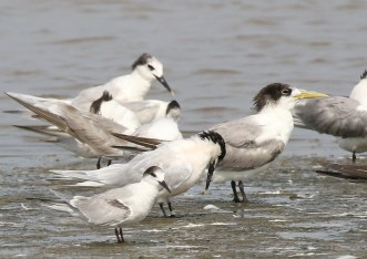Common, Sandwich and Swift Terns