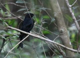 Fork-tailed Drongo - John Bremner