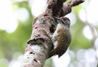Golden-tailed Woodpecker - John Bremner
