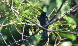 Square-tailed Drongo- Mike