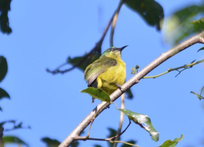 Collared Sunbird - Mike