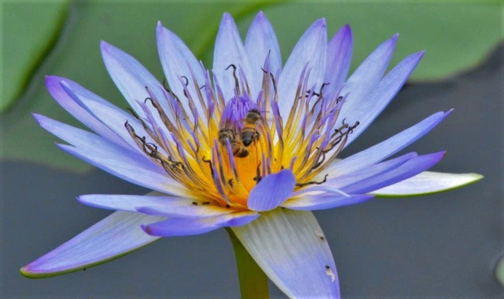 Bee exploring Nymphaea