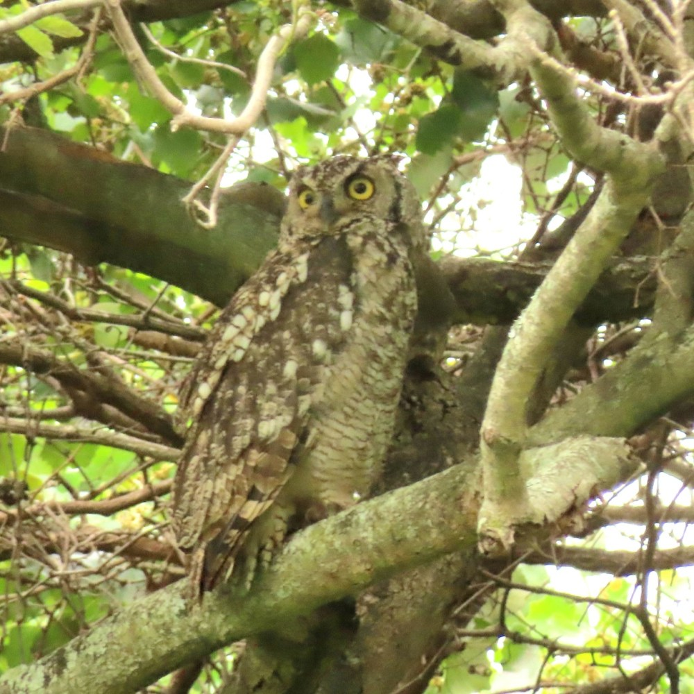 Spotted Eagle-Owl - Terry Walls