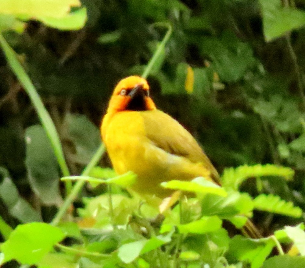 Spectacled Weaver - Terry Walls