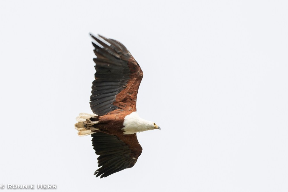 African Fish Eagle (Ronnie Herr)