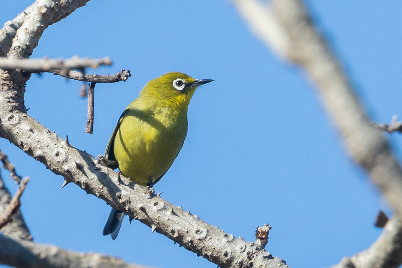 Cape White-eye (Nicolette Forbes)