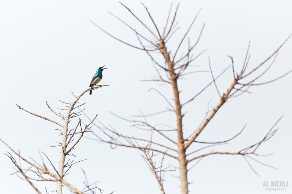 White-bellied Sunbird - Al Nicoll