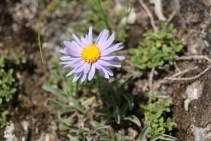Altai flower.