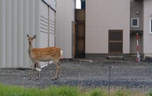 An ezo deer in Wakkanai city center. That town has a population of some 40,000 people and the deer were still roaming around downtown.