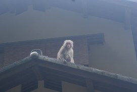 Monkeys near the Path of Philosophy. Some a bit too curious.