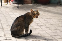 Vocal cat we met in Taipa.
