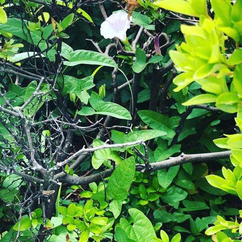 ツツジの茂みの中でひっそりと咲いてる。