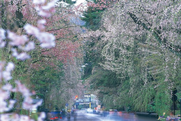 Cherry blossom in Kakunodate Samurai Residence district. It is one of the highlights in Tohoku region. (C) Akita Prefecture / JNTO
