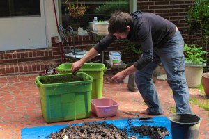 Make your own worm bin - vermiculture mark two - worms going in their new home.