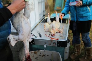 Rooster head and feet are removed before gutting