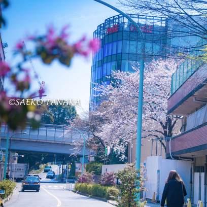 桜満開の青山の街並み