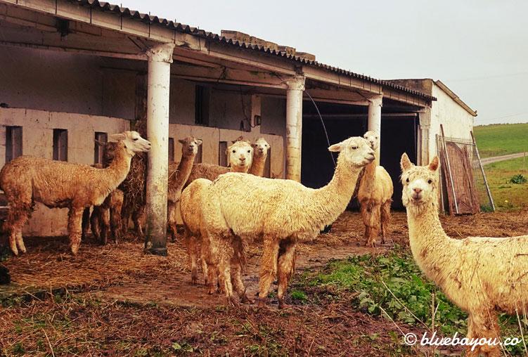 Eine Gruppe von Alpacas auf dem Camino del Norte in Spanien.