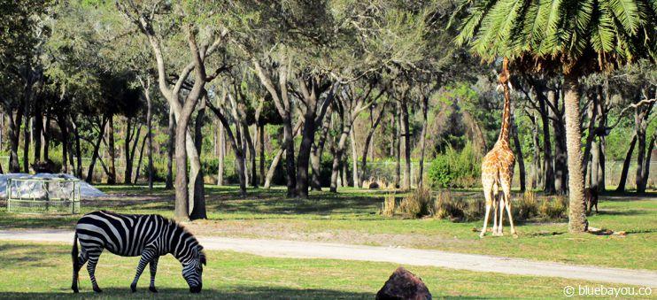 Ein Zebra und eine Giraffe in Orlando in der Animal Kingdom Lodge.