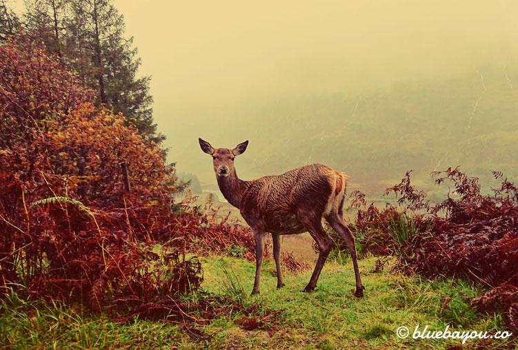 Fotoparade Tierisch: Ein Reh stand auf dem Weg nach Gualachulai in Schottland direkt am Straßenrand.