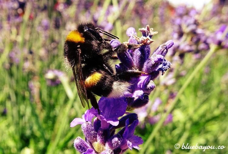 Fotoparade, Kategorie Nahaufnahme: Eine Biene an Lavendel.