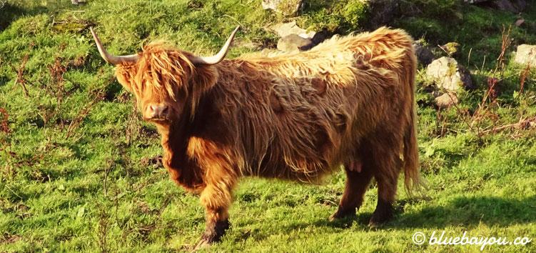 Eine schottisches Hochlandrind (Highland Cattle) auf dem Weg nach Applecross entlang der North Coast 500.