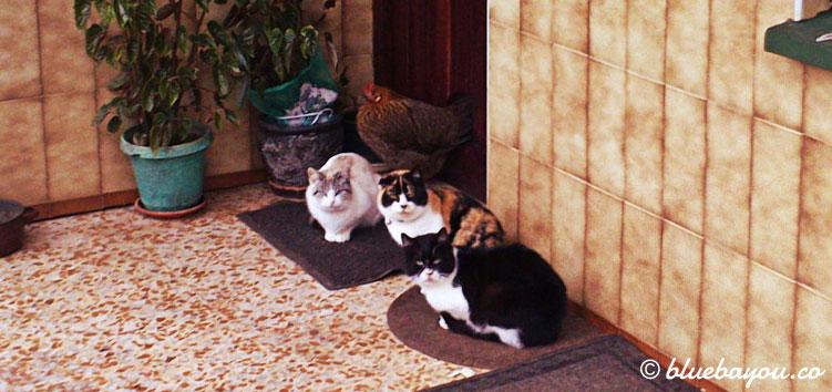 Drei Katzen und ein Huhn schützen sich vor dem Regen.