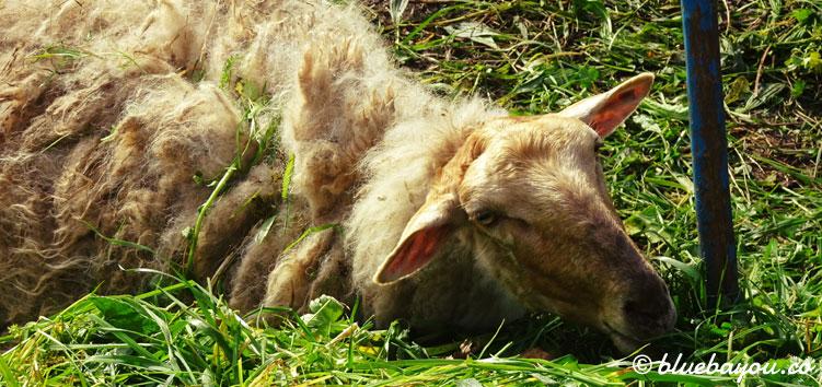 Ein liegendes Schaf auf dem Camino del Norte.