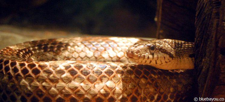 Eine Schlange im Homosassa Springs Wildlife State Park.