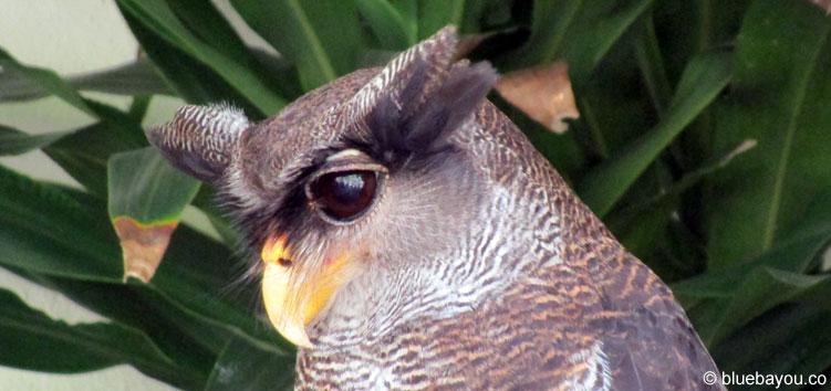 Ein Malayen-Uhu im Bird Park in Kuala Lumpur.