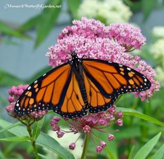 monarch-male-proboscis-swamp-milkweed-flowers