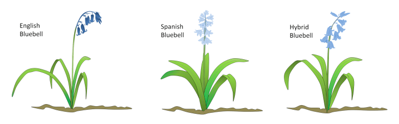 Comparison of English, Spanish, and Hybrid bluebell species