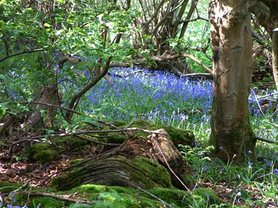 Sea of bluebells in full-bloom in a woodland