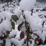 紅葉したブルーベリーに雪