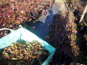 ブルーベリーの落葉回収
