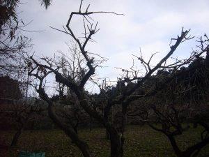 剪定後の柿の木