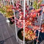 紅葉したブルーベリーの木