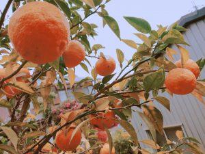 木になる柚子