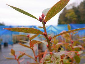 ピンクレモネードの花芽