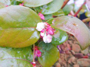 シャープブルーの花