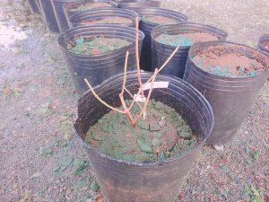 ブルーベリーの苗木を定植